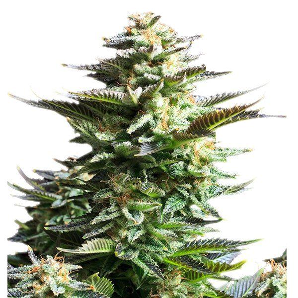 Plant of Life – Amnesia Haze Auto