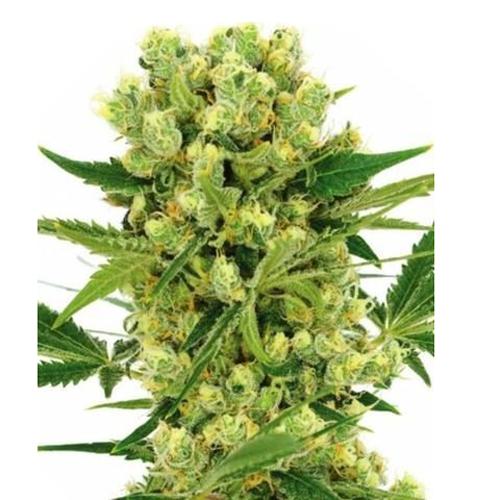 Plant of Life – Amnesia Lemon