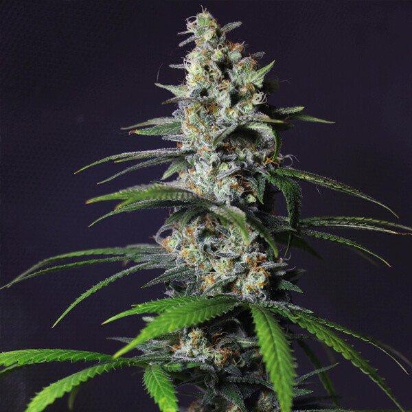 Plant of Life – Chocoloco