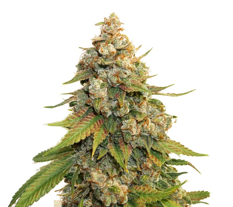 Plant of Life – Lemon Haze Femminizzata | 1 seme