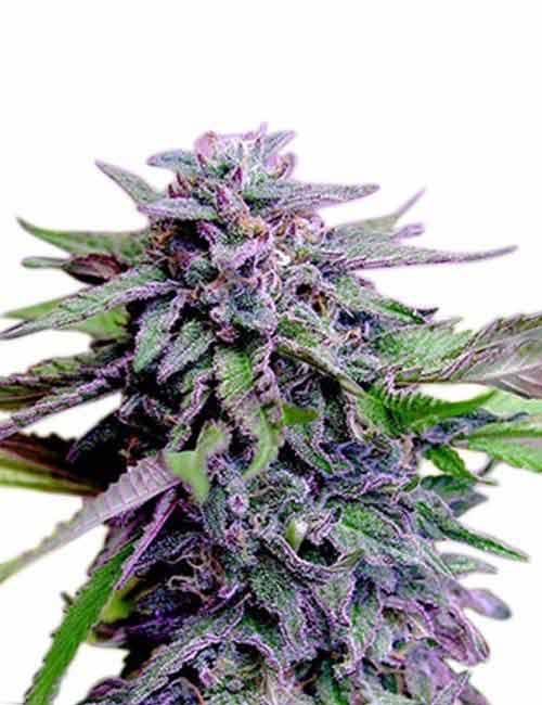 Plant of Life – Purple Haze