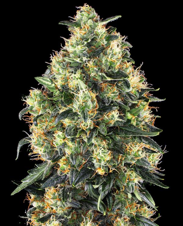 Plant of Life – Super Skunk